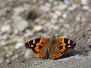 Butterflies in Nepal