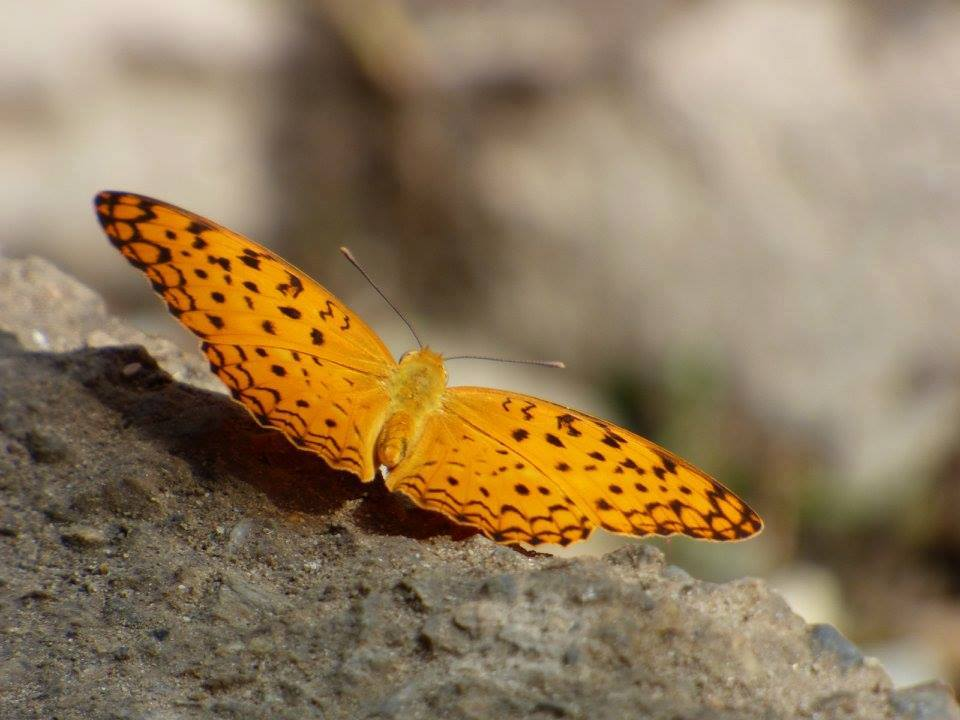 Butterflies in Nepal